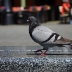 Pigeons on Main Square